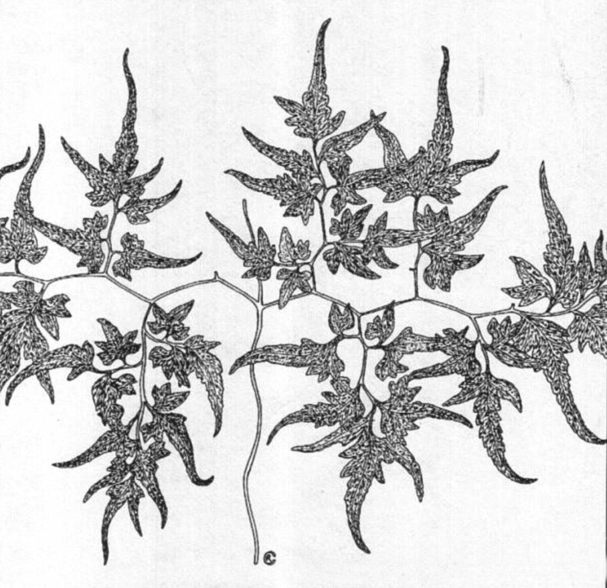 cropped-Japanese-Climbing-Fern-Lygodium-japonicum-e1598334602783.jpg